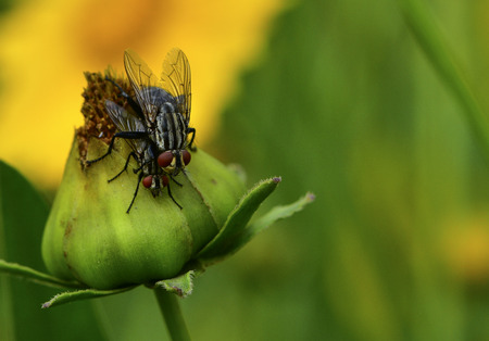 flies mating on flower Stock Photo