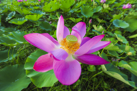 In the context of virtual reality, the lotus blossoms in summer