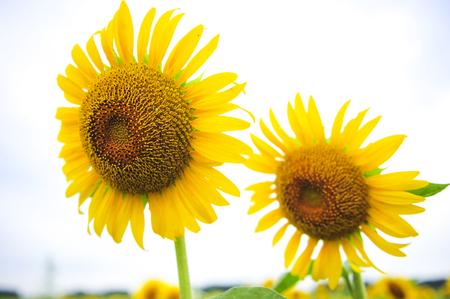 Sunflowers growing in farmland 写真素材