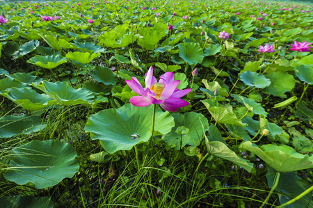 the lotus blossoms in summer