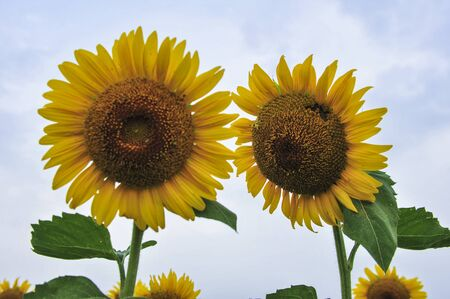 Sunflowers blooming in the fields 写真素材