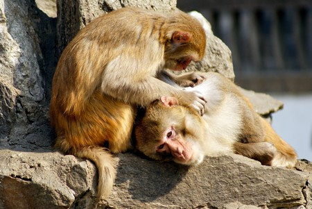 lice: A monkey  catch lice to eat