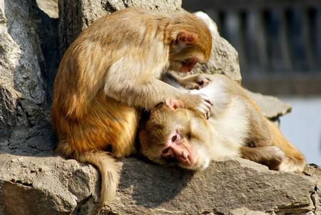 lice: Un mono atrapar piojos a comer