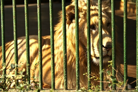 A lion in a cage ,sad photo
