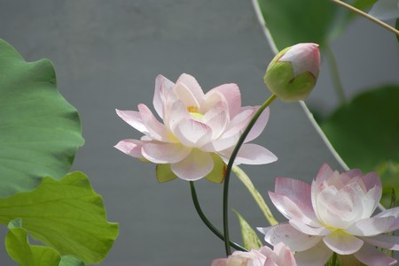 upperdeck view: White water lily in the pond