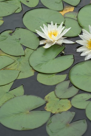 White water lily in the pond photo