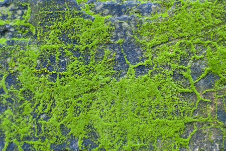 lichen: green moss on the stone texture background  Stock Photo