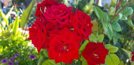 Roses in a garden / Roses in a garden