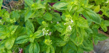 Close-up of mint leaves / Close-up of mint leaves Stock fotó