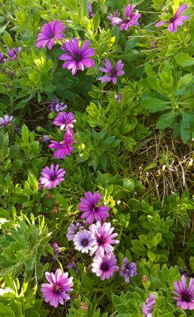 Purple flowers in a garden / lilac flowers in a garden