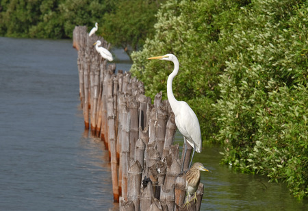 egrets: Great Egret with Timber Bamboo beside the sea in Thailand