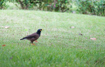 common myna bird: Common Myna (Acridotheres Tristis), Bird on the ground in the park,Bangkok Thailand