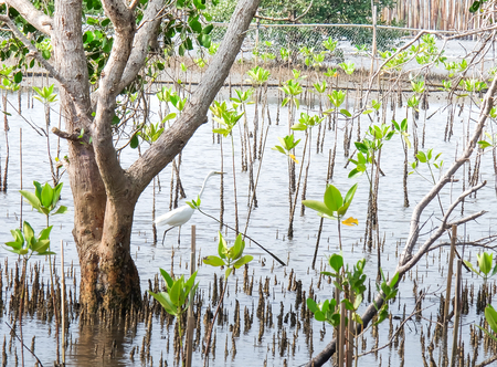 thialand: Great Egret (Ardea alba) in the mangroves forest at the east of Thialand (Rayong province).its plentiful and fresh suitable for relaxing. Stock Photo