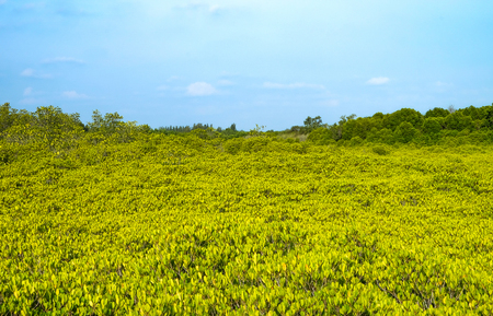 Panorama view at Tung Prong Thong,Golden Mangrove Field. This here is famous for golden mangrove tree at the sea ,Pra Sae, Rayong, Thailand.