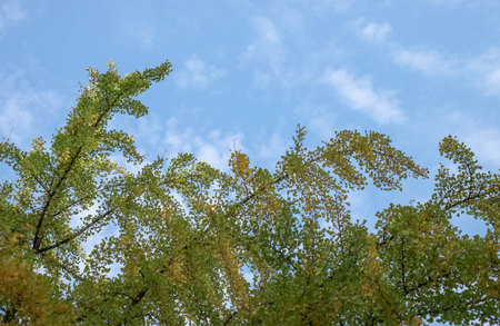 look up the tree at the China iemple : Leaves of the Ginkgo Biloba Tree (Ginkgo biloba) at the China temple.