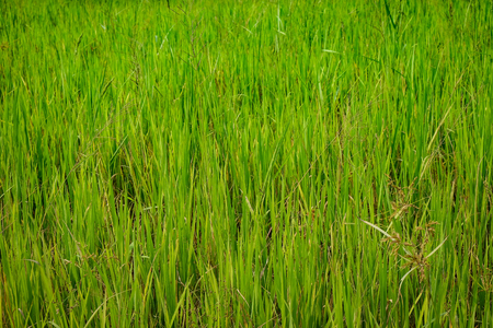 this picture is the green grass. Can be used for background, texture and pattern. It's feel fresh. And you will see them at the around the city.