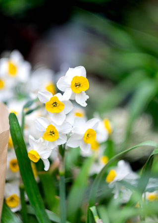 Narcissus flowers macro photo, It's especially focus.  March is start to blooming. Stock Photo - 122671716
