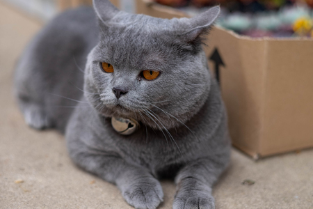 The British Shorthair lying on the floor. Portrait of a gray cat. Stock Photo