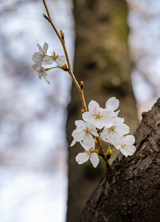 The Cherry Blossom tree at the Wuhan city, Hubei China. This picture is especially focus. Focus on the flower. Cherry Blossom with the blurred background. Stock Photo
