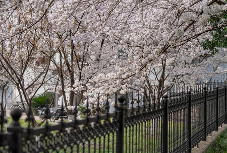 The Cherry Blossom tree at the Wuhan city, Hubei China. This picture is especially focus. Focus on the flower. Cherry Blossom with the blurred fence.