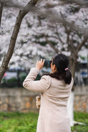 Wuhan, Hubei  China - March 24 2019: The unspecific woman taking photo under the chery blossom tree. The Cherry blossom with the blurred background.