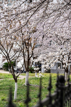 The Cherry Blossom tree at the Wuhan city, Hubei China. This picture is especially focus. Focus on the flower.  The Cherry blossom tree with the blurred fence.