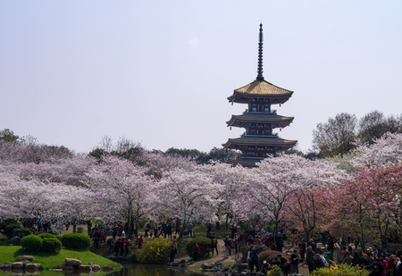 WUHAN-HUBEICHINA, MAR 28-2019: Cherry blossoms in Wuhan East Lake Sakura garden in warm spring, while it fill bloom. With the chinese pagoda style located in the park. Editorial
