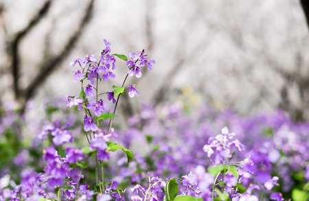 Small purple flower in full bloom in Wuhan East Lake. It's focus on the flower. It's one of the destination on every March of every year. Stock Photo - 122671830