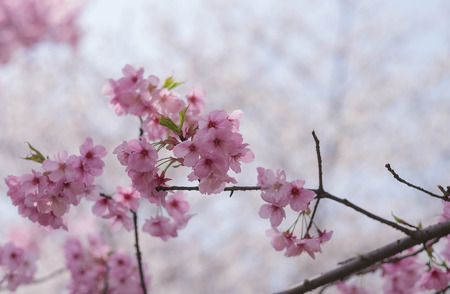 Flower plum blossoms in full bloom in Wuhan East Lake. It's focus on the flower.