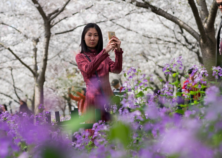 Wuhan East Lake Sakura Garden. Unspecific woman taking photo for the cherry blossom at the east lake. Its one of the destination for travel. Stock Photo