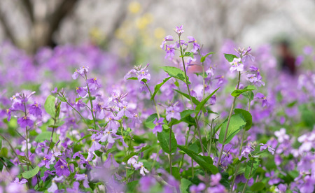Small purple flower in full bloom in Wuhan East Lake. It's focus on the flower. It's one of the destination on every March of every year. Stock Photo - 122671931