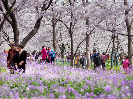 WUHAN-HUBEICHINA, MAR 28-2019: Wuhan East Lake Sakura Garden. Many people traveling at the cherry blossom in the east lake. Its one of the destination for travel. Editorial