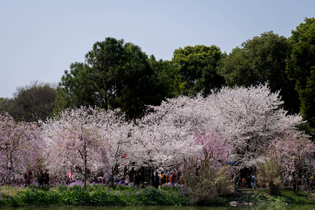 Cherry blossoms in Wuhan East Lake Sakura garden in warm spring, while it fill bloom. Stock Photo