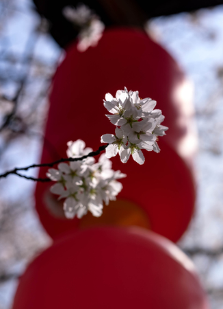 Flower plum blossoms in full bloom in Wuhan East Lake. It's focus on the flower. And the blurred lantern for the background. Stock Photo - 122672040