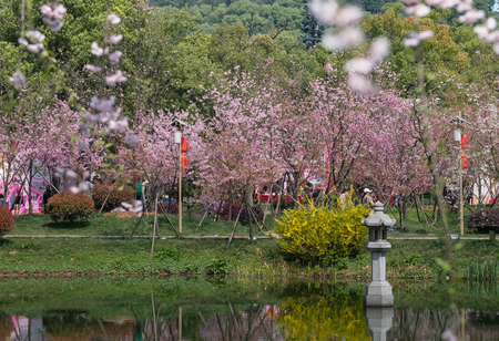 Cherry blossoms in Wuhan East Lake Sakura garden in warm spring, while it fill bloom. Editorial