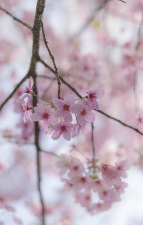 Flower plum blossoms in full bloom in Wuhan East Lake. It's focus on the flower. Stock Photo - 122672180