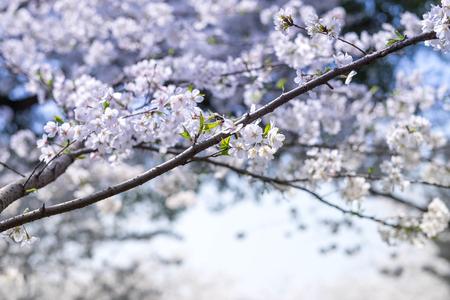 Flower plum blossoms in full bloom in Wuhan East Lake. It's focus on the flower. Stock Photo - 122672182