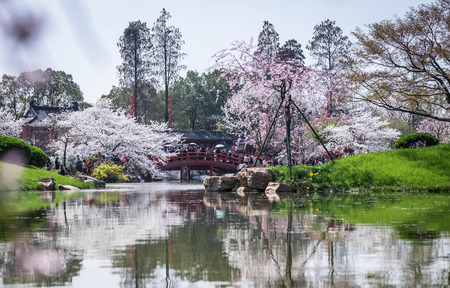 WUHAN-HUBEICHINA, MAR 28-2019: Cherry blossoms in Wuhan East Lake Sakura garden in warm spring, while it fill bloom. Editorial