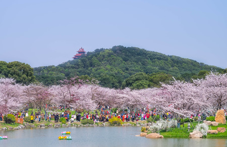 WUHAN-HUBEICHINA, MAR 28-2019: Cherry blossoms in Wuhan East Lake Sakura garden in warm spring, while it fill bloom. With the chinese pagoda style located in the park. Many people traveling in this park.