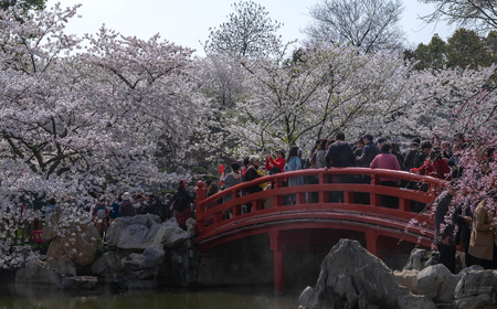 WUHAN-HUBEICHINA, MAR 28-2019: Cherry blossoms in Wuhan East Lake Sakura garden in warm spring, while it fill bloom. With the chinese bridge  style located in the park. many people travelig at the East lake Editorial