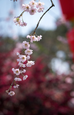Flower plum blossoms in full bloom in Wuhan East Lake. It's focus on the flower. And the blurred  for the background. Stock Photo - 122674055