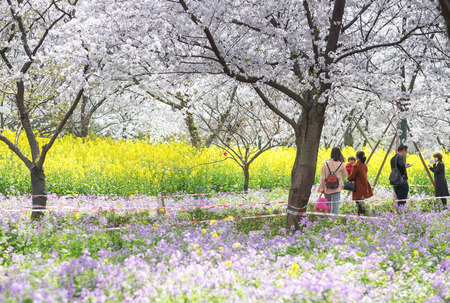 WUHAN-HUBEICHINA, MAR 28-2019: Wuhan East Lake Sakura Garden. Unspecific women walking at the cherry blossom park  the part of east lake. Its one of the destination for travel.
