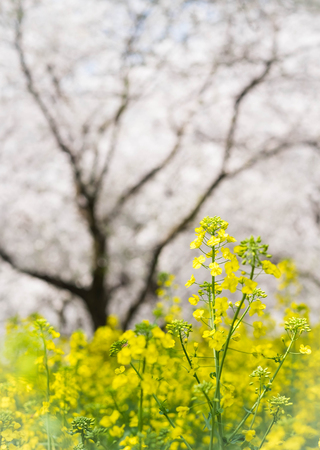 Flower plum blossoms in full bloom in Wuhan East Lake. It�s focus on the flower. Stock Photo - 122674118