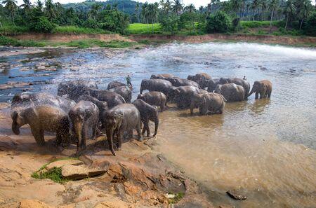 Asian elephants walking  in a river near the village of Pinnawala.