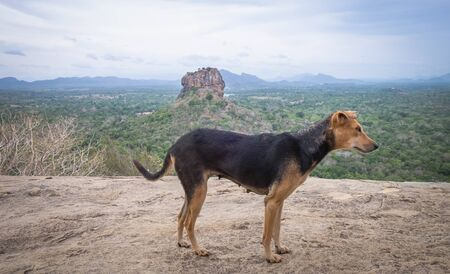 A dog at the pidurangala rock, look like relaxing, Sigiriya Rock Fortress, Sri Lanka.