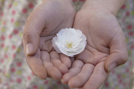 一緒にすぼめ、桜の花を保持している小さな女の子手のクローズ アップ