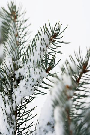 fir  tree: A fir tree branch