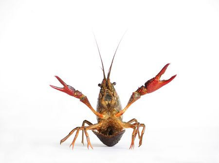 Lobster isolated on white photo