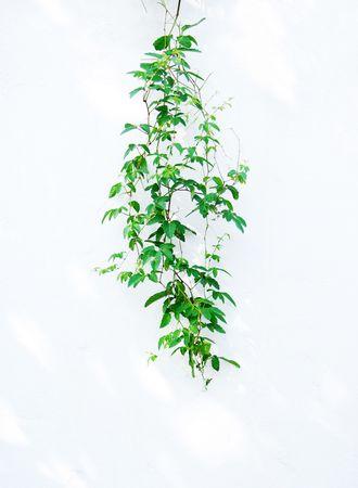 白い背景上に分離されて緑のアイビー