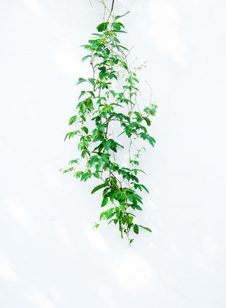 Edera verde isolata on white background